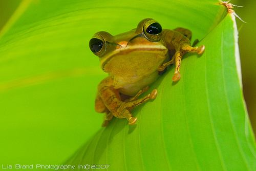 15-animal-bright-eyes-frog-green-photography-Favim.com-74881.jpg