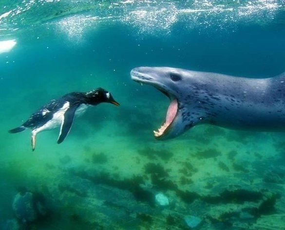 penguin_being_eaten_underwater_wildlife_photography_amos_nachoum