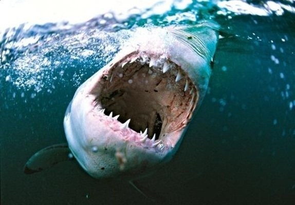 shark_jaws_underwater_wildlife_photography_amos_nachoum