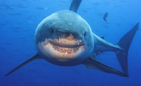 smiling_shark_underwater_wildlife_photography_amos_nachoum